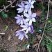 Hepatica nobilis Schreb.<br />Ranunculaceae<br /><br />Erba trinità.<br />Hépatique à trois lobes.<br />Leberblümchen.