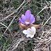 Crocus albiflorus Kit.<br />Iridaceae<br /><br />Croco bianco.<br />Crocus du printempos.<br />Frühlings- Krokus.