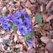 Pulmonaria mollis aggr. Boraginaceae  Polmonaria morbida. Pulmonarie molle. Weiches Lungenkraut.