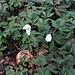 Anemone nemorosa L.<br />Ranunculaceae<br /><br />Anemone bianca.<br />Anémone des bois.<br />Busch-Windroeschen.