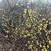 Cornus mas L.<br />Cornaceae<br /><br />Corniolo maschio.<br />Cornouiller mâle.<br />Kornelkirsche.