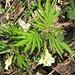 Zahnwurz mit seinen hübschen gefiederten Blättern. <br />Normalerweise ein Frühblüher in Buchenwäldern, hier aber mitten in einer Heuwiese