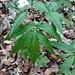 Cardamine heptaphylla (Vill.) O. E. Schulz<br />Brassicaceae<br /><br />Dentaria pennata.<br />Dentaire à sept folioles.<br />Fiederblättrige Zahnwurz.