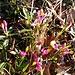 Polygaga chamaebuxus L.<br />Polygalaceae<br /><br />Poligala falso bosso.<br />Polygale petit buis.<br />Buchsblättrige Kreuzblume.