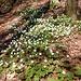 Blumenteppich (von Waldanemonen)