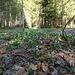 Eine Märzenbecherwiese: die Frühlingsknotenblume liebt feuchte Wälder, Gebüsche und Wiesen