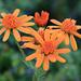 Die Blumen auf dem Plan dal Luf. (Greiskraut, Eberrauten-: Senecio abrotanifolius)