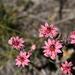 Hauswurz (Sempervivum montanum)