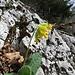 Frühlings-Schlüsselblume (Primula veris)