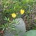 fiori fico d'india