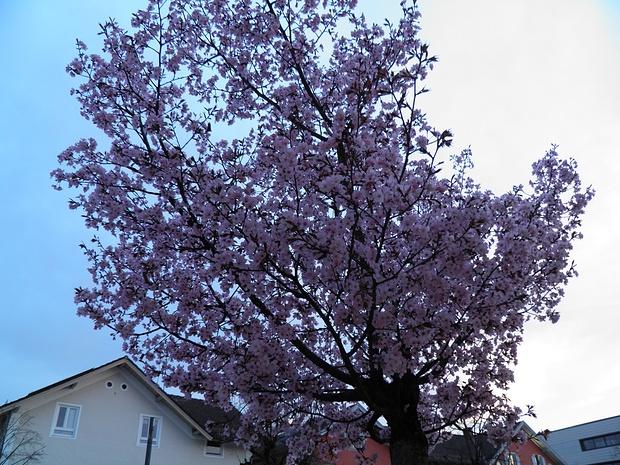 einer von vielen blühenden Bäumen in der Bahnhofstrasse in Penzberg