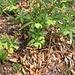 Helleborus viridis L.<br />Ranunculaceae<br /><br />Elleboro verde.<br />Hellébore vert.<br />Grüne Nieswurz.