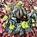 Euphorbia amygdaloides L.<br />Euphorbiaceae<br /><br />Euforbia delle faggete.<br />Euphorbe à feuilles d'amandier.<br />Mandelblättrige Wolfsmilch.