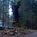 urtümliche Bäume