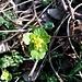Chrysosplenium alternifolium L. Saxifragaceae  Erba milza comune. Dorine à feuilles alternes. Welchselblättriges Milzkraut.