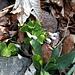 Oxalis acetosella L.<br />Oxalidaceae<br /><br />Acetosella dei boschi.<br />Oxalis petite oseille.<br />Wald-Sauerklee.<br />
