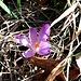 Crocus albiflorus Kit.<br />Iridaceae<br /><br />Croco bianco.<br />Crocus du printemps.<br />Frühlings-Krokus.