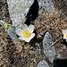 Pulsatilla vernalis (L.) Mill.<br />Ranunculaceae<br /><br />Pulsatilla primaverile.<br />Pulsatille du printemps.<br />Frühlings-Anemone.