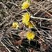 Tussilago farfara L.<br />Asteraceae<br /><br />Tossilagine comune.<br />Tussilage.<br />Huflattich.<br />