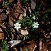 """Unterwegs zwischen """"Pod Březinou"""" und Zvon - Am Waldboden dominieren derzeit noch Brauntöne. Etwas Grün und vor allem einige Buschwindröschen-Blüten kündigen aber buntere Zeiten an."""