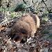Zvon (Francká hora) - Unser Hauswolf erkundet wie immer die Umgebung. Hier sucht er gerade eine Abkürzung für den bald bevorstehenden Abstieg.
