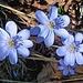Zum Abschluss der Tour sorgen perfekt belichtete Leberblümchen für Frühlingsgefühle.