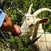 Streicheleinheiten für die Ziege