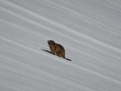 Murmeli bei der Alp Häderen