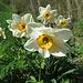 Weisse Garten-Narzisse (Narcissus poëticus)