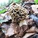Speise-Morchel (Morchella esculenta)