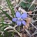 Viola canina L. s.str.<br />Violaceae<br /><br />Viola canina, violetta selvatica.<br />Violette des chiens.<br />Gewoehnliches Hunds-Veichen.