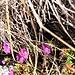 Primula hirsuta All.<br />Primulaceae<br /><br />Primula irsuta.<br />Primèvere à gorge blanche.<br />Rote Felsen-Primel.