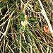 Polygala chamaebuxus L.<br />Polygalaceae<br /><br />Poligala falso bosso.<br />Polygale petit buis.<br />Buchsblättrige Kreuzblume.