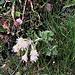 Petasites albus (L.) Gaertn. Asteraceae  Farfaraccio bianco. Pétasite blanc. Weisse Pestwurz.