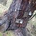 Nach der exponiertesten Stelle des Pfades findet sich dieser Baum mit einigen Heiligenbildern