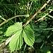 Humulus lupulus L.<br />Cannabaceae (incl. Moraceae p.p.)<br /><br />Luppolo comune.<br />Houblon.<br />Hopfen.
