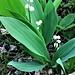 Convallaria majalis L.<br />Asparagaceae (Liliaceae p.p.)<br /><br />Mughetto.<br />Muguet.<br />Maigloecken.