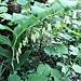 Polygonatum multiforum (L.) All.<br />Asparagaceae (Liliaceae p.p.)<br /><br />Sigillo di Salomone maggiore.<br />Sceau de Salomon multiflore.<br />Vielblütiges Salomonsiegel.