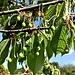 Prunus avium L.<br />Rosaceae<br /><br />Ciliegio.<br />Cerisier.<br />Kirschbaum.