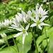 Bärlauch-Blüten