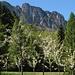 Hinter blühenden Apfelbäumen präsentiert sich noch einmal der Marzola-Kamm .....
