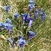 finalmente le genziane....è primavera!!!