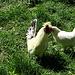 Hahn mit Henne