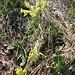 Primula veris L. s.str.<br />Primulaceae<br /><br />Primula odorosa.<br />Primevère du printemps.<br />Gewoehnliche Frühlings-Schlüsselblume.