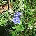 Veronica chamaedrys L.<br />Plantaginaceae (incl. Scrophulariaceae p.p.)<br /><br />Veronica comune.<br />Véronique petit chéne.<br />Gemander-Ehrenpreis.