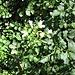 Nasturtium officinale R. Br.<br />Brassicaceae<br /><br />Crescione d'acqua.<br />Cresson d'eau.<br />Echte Brunnenkresse.