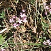 Saponaria ocymoides L.<br />Caryophillaceae<br /><br />Saponaria rossa.<br />Saponaire rose.<br />Rotes Seifenkraut.