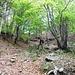 Nel meraviglioso bosco che adduce alla bocchetta di Moregge.