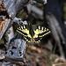 Auf der Mittagflue leistete mir ein wunderbarer Schwalbenschwanz (Papilio machaon) Gesellschaft