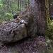"Baum ""frisst"" Stein :-D"